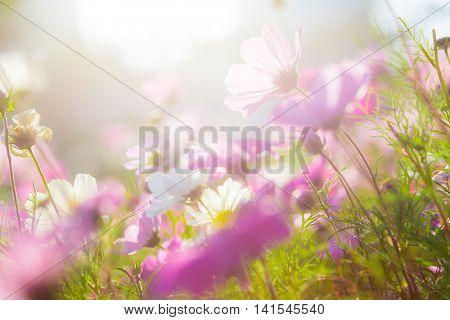 Cosmo flower under the sun