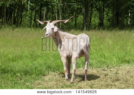 Horny goat standing in the middle of the green lawn on a sunny summer day