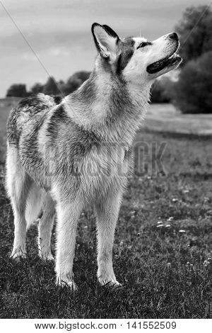wet fluffy, adult dog alaskan malamute standing on the field with a raised snout up portrait of a full-length in profile, sniffing the air with the wind, black and white photo