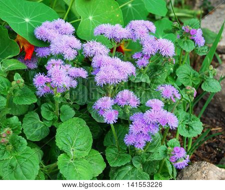 Lilac color ageratum flower blooms in the garden