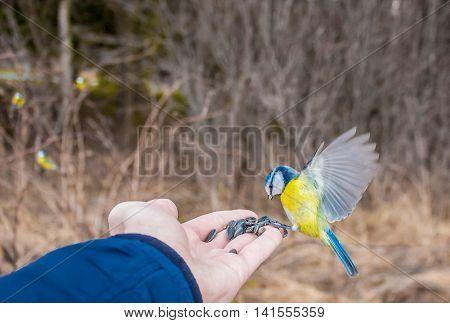 beautiful chickadee eats food from the hand