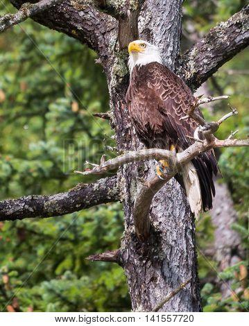 Alaskan Bald Eagle perched on a tree branch near Skagway AK