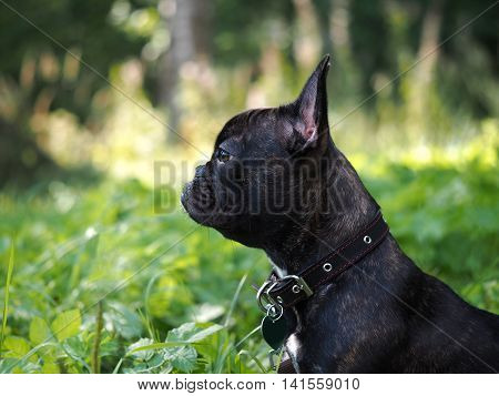 Walk the dog. The high green grass park. Black dog french bulldog breed. On the dog collar and leash. Dog portrait