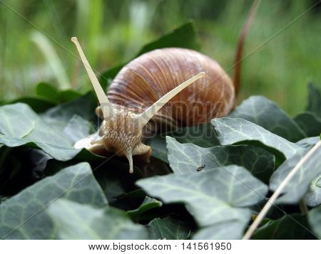 Burgundy snail (Helix, Roman snail, edible snail, escargot) after crawling ivy leaves
