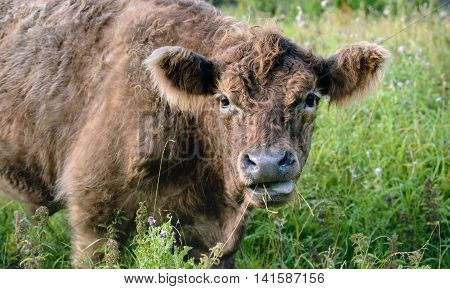 Closeup of a brown hornless Galloway bull with curly hair looking at the photographer.