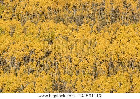 Rows of golden aspen trees in autumn in San Juan region of Colorado