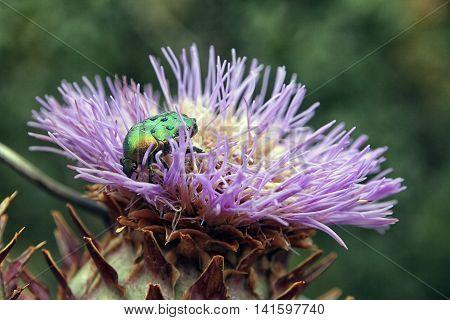 big green beetle Cetonia aurata on flower bud of Cardoon or Cynara cardunculus or artichoke thistle closeup