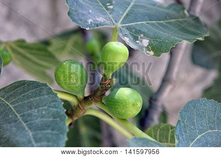 unripe green figs growing on the fig tree closeup