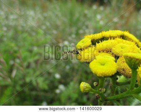 A long hoverfly (Sphaerophoria scripta) feeding on the nectar of Tansy flowers (Tanacetum vulgare)