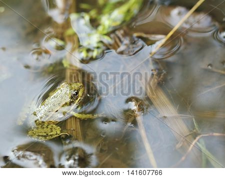 Green frog in the water, close up