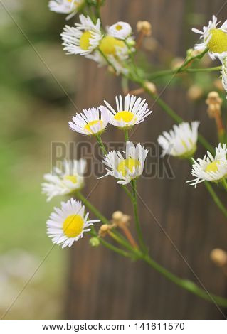 close photo of white blooming panicled aster
