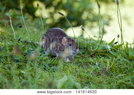 Wild Brown Rat foraging in English countryside