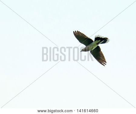 Migratory bird Turtle Dove in flight against clear sky.