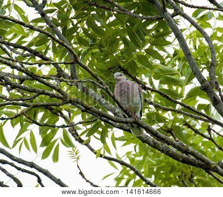 Migratory bird Turtle Dove in tree during summer.