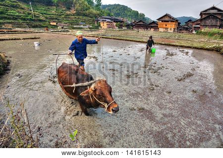 Zhaoxing Dong Village Guizhou Province China - April 9 2010: Chinese farmer plows the land of rice fields using the force of the red cow.