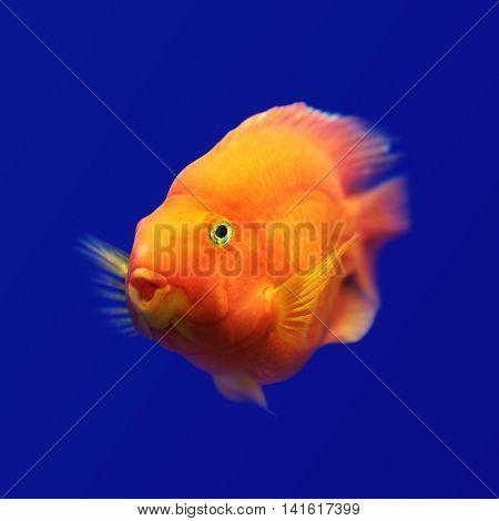 orange fish underwater isolated in blue background