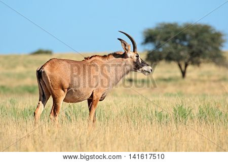 A rare roan antelope (Hippotragus equinus) standing in grassland, Mokala National Park, South Africa