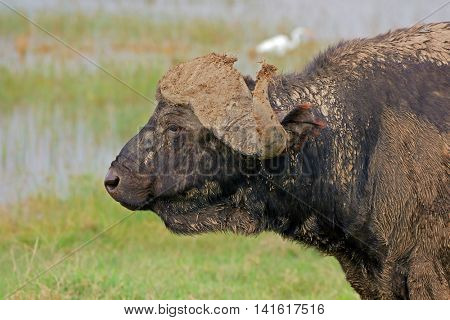 Portrait of an African buffalo (Syncerus caffer), Lake Nakuru National Park, Kenya