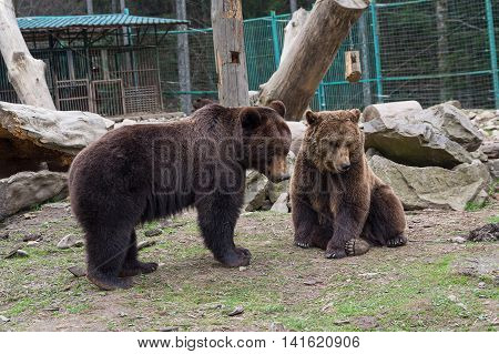 Two brown bears are in captivity. Animals