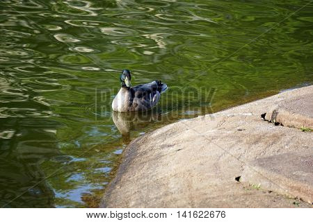 A male mallard duck (Anas platyrhynchos) swims in a pond.