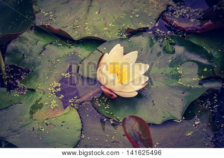 White Lilly flower in Pond at Nostell Priory Wakefield England