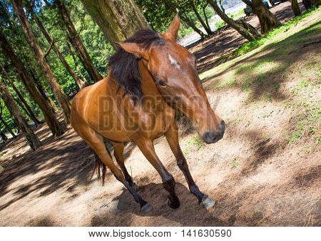 Friendly wild horse in Waipio Valley on Big Island in Hawaii