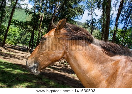 Wild horse in Waipio Valley on Big Island Hawaii