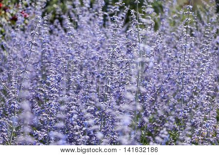russian sage flower close-up in countryside landscape