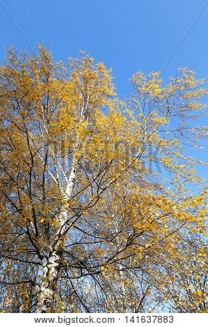 photographed close-up of yellow leaves on the top of a birch tree in autumn season
