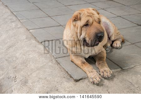 Dirty Shar pei dog with copy space