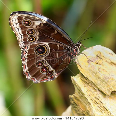 Morpho peleides, the Blue Morpho butterfly from Central or South America.