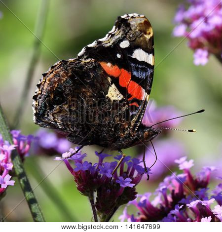 The Red Admiral butterfly, Vanessa atalanta, feeding on a flower in Wales, UK