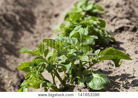 photographed close-up green shoots of potatoes. furrow, spring