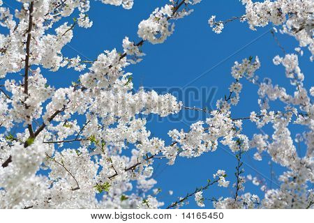 Japanese Cherry Tree Bloom Spring Washington DC