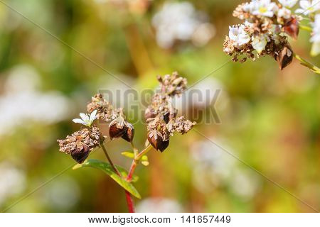 Macro photo of flower buckwheat with selective focus. Buckwheat plant. Natural background. Buckwheat blossom