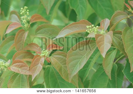 Croton Tiglium Linn With New Leaves Sprout As Background