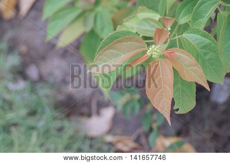 Purging Croton Or Croton Tiglium Linn With New Leaves Sprout