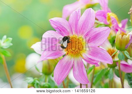 Large black bumble bee collects nectar on a dahlia. Focus on a flower. Shallow depth of field.