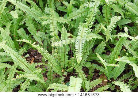 Kupukupu (nephrolepis Cordifolia) Tuber Sword Fern