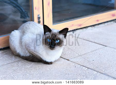 Cute birma cat or siamese cat sitting in front of a door and looking into the camera.