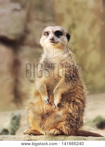 Suricate watching out. Close-up with defocused background.