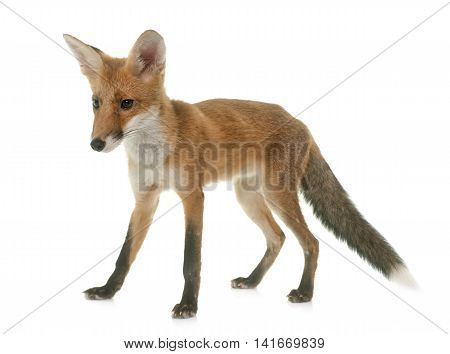 red fox eating a chick in front of white background