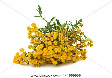 Tansy herbalism, homeopathic herbal on white background