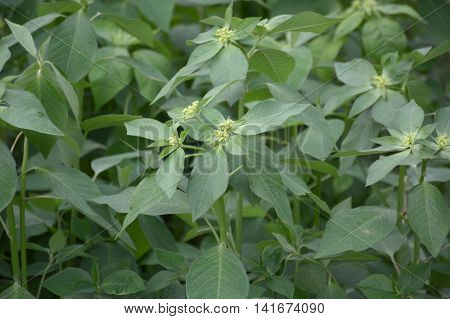 fresh green painted spurge grass in garden