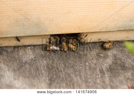 Worker bees kick drones out of the beehive.