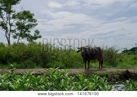 Thai water buffalo is standing on the community route near the swamp.