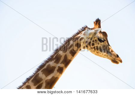 Giraffe, side view, the neck and the head
