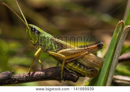 Kuznechikova (lat. Tettigonioidea's) is a superfamily of Orthoptera insects of the suborder with the only modern long mustache of the same family. More than 6,800 species on all continents (except Antarctica).