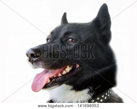 The dog's look. Dog portrait North Huskies on white isolated background. Black and white dog with a large pink tongue. A pet is a friend for people.