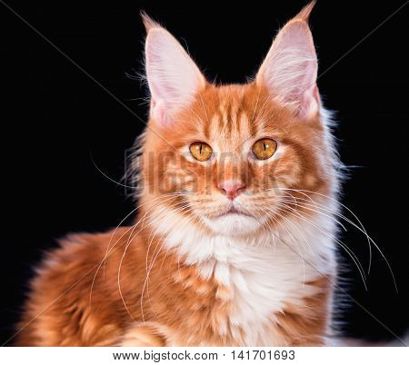Portrait of domestic red Maine Coon kitten - 6,5 months old. Cat on black background.